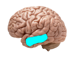 Approximate location of Brodmann Area 21, corresponding to gyrus temporalis medium. Credit: Brain template to _DJ_; Area tracing to Neuronicus
