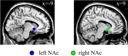 The nucleus accumbens, a key region involved in reward processing and addiction. Credit: Zou et al. (2015)