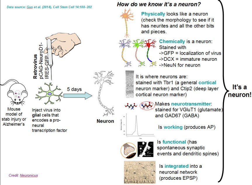 NeuroD1 transforms glial cells into neurons. Summary of the first portion of the Guo et al. (2014) paper.