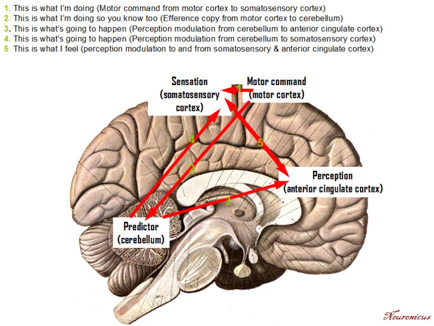 anterior cingulate cortex (aCC) – The Science Portal