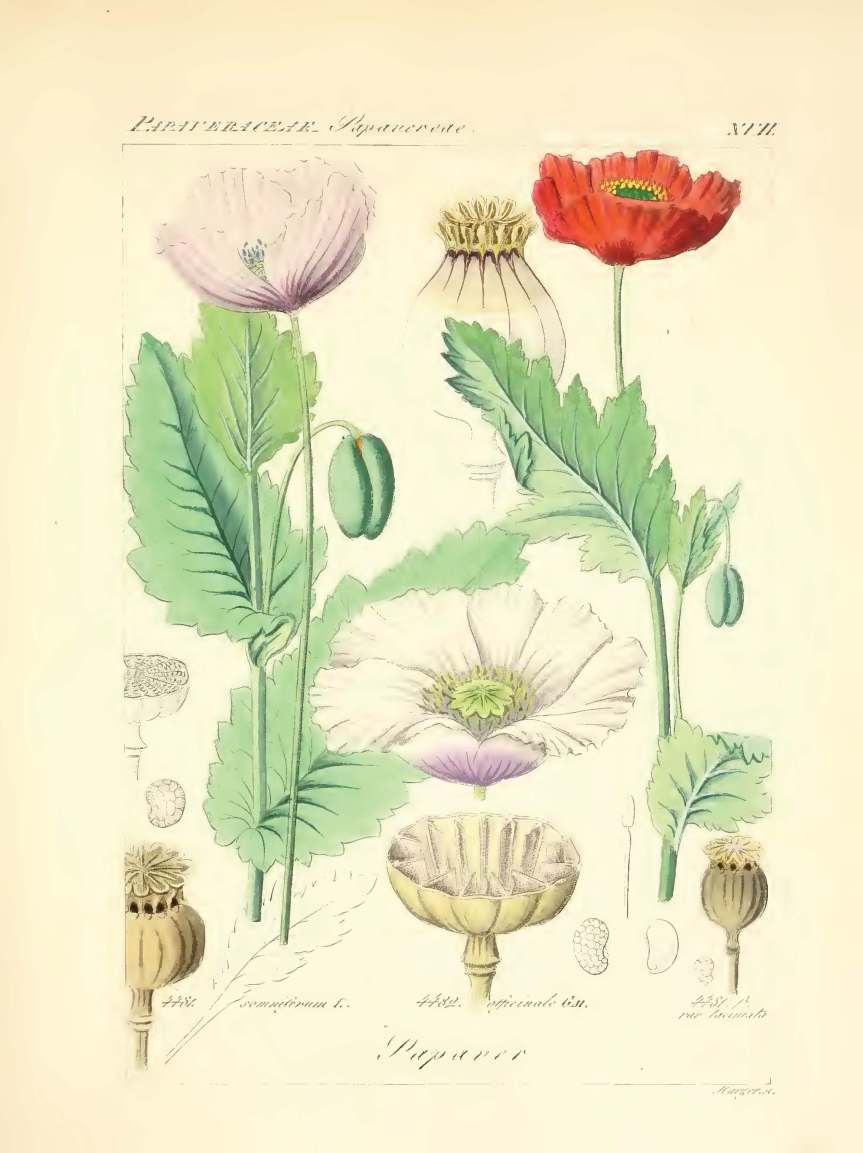 icones florae germanicae et helveticae 1837, vol 3_Page_059 - Copy