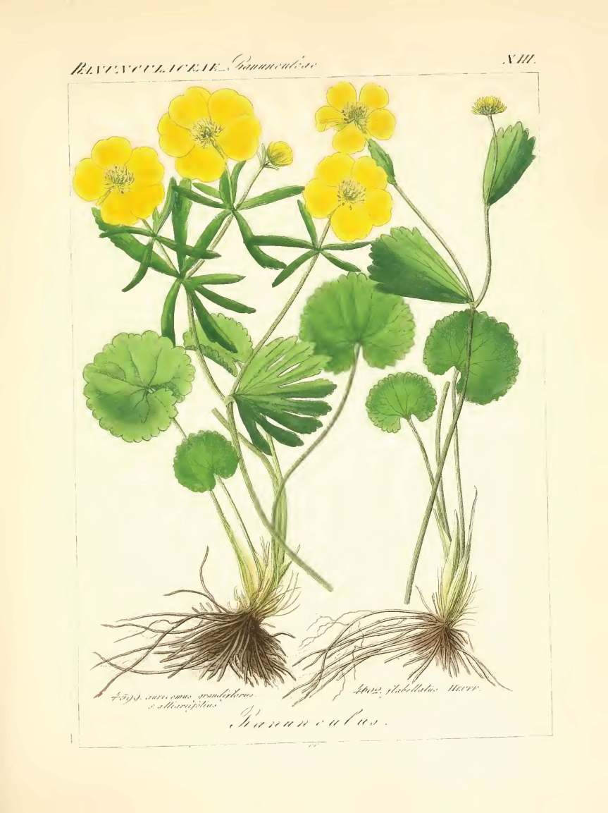 icones florae germanicae et helveticae 1837, vol 3_Page_169 - Copy.jpg