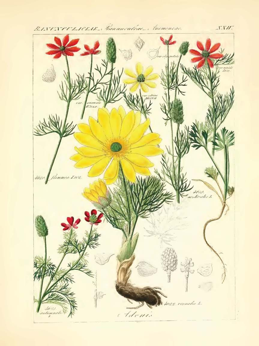 icones florae germanicae et helveticae 1837, vol 3_Page_193 - Copy.jpg