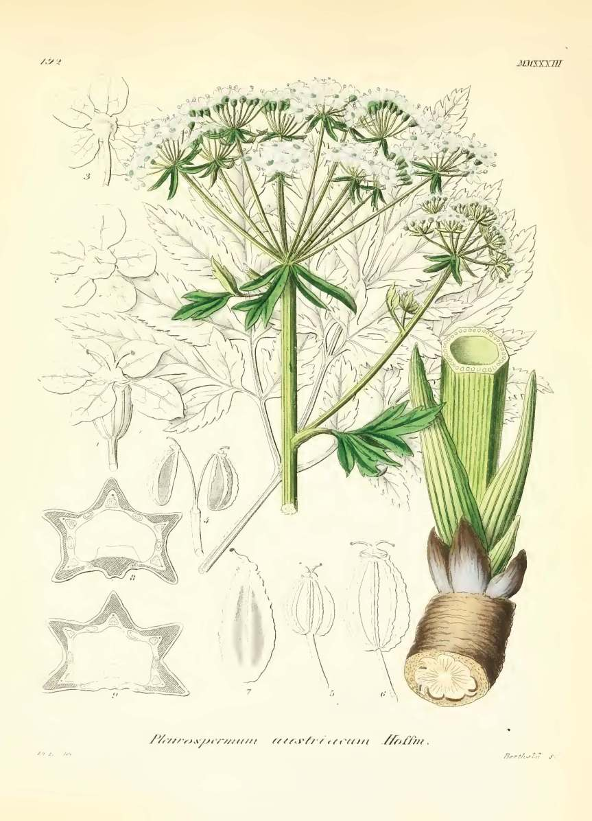icones florae germanicae et helveticae 1867, vol 21_Page_501 - Copy.jpg